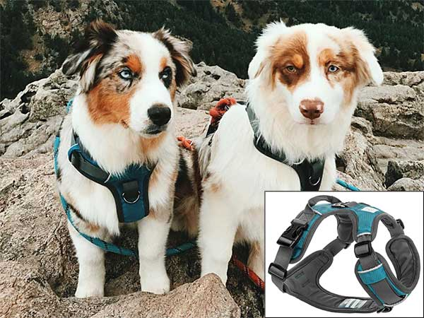 Australian Shepherds wearing the Embark Active Dog Harness.
