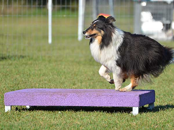 Shetland Sheepdog (Sheltie) on pause table at dog agility trial.
