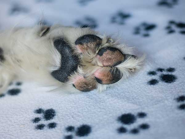 Close up of Australian Shepherd's paw on a blanket printed with dog paws.