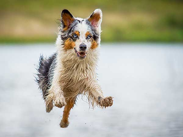 Physical Therapy For Dogs Article: Photo of wet Australian Shepherd running.