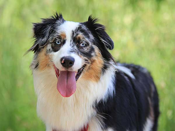 Blue merle Australian Shepherd with tongue out looking at camera.