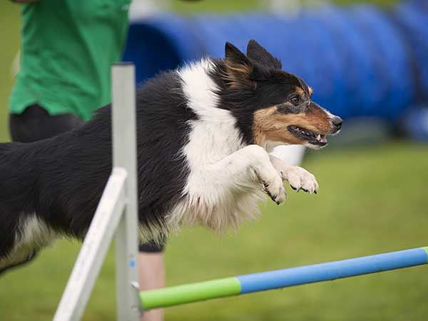 Dog jumping over bar at agility competition.