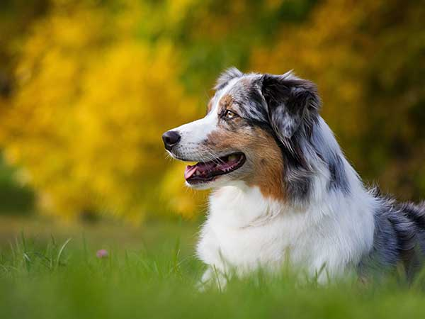 Australian Shepherd outside on beautiful autumn day.