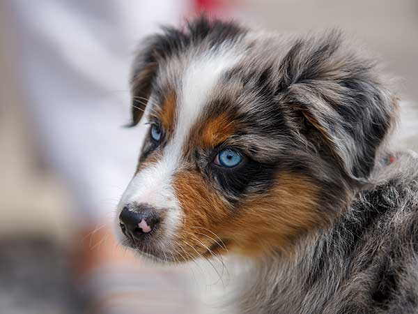 Portrait of a super cute Australian Shepherd puppy.