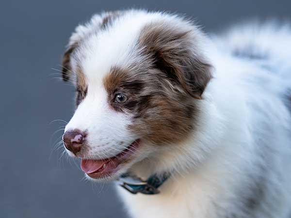 Cute Australian Shepherd puppy.