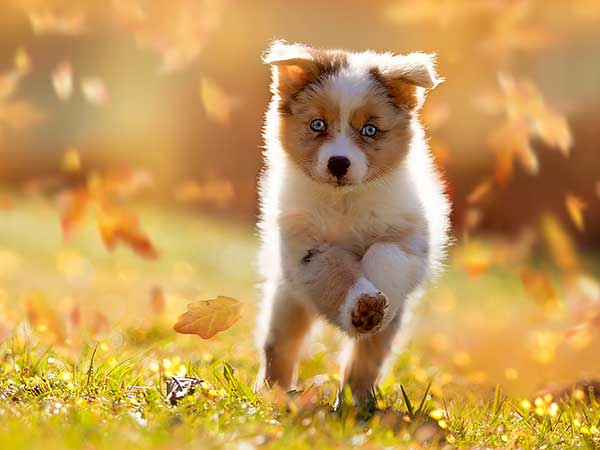 The Importance of Early Puppy Socialization For Your Aussie - Photo: Australian Shepherd puppy running across grass in fall.