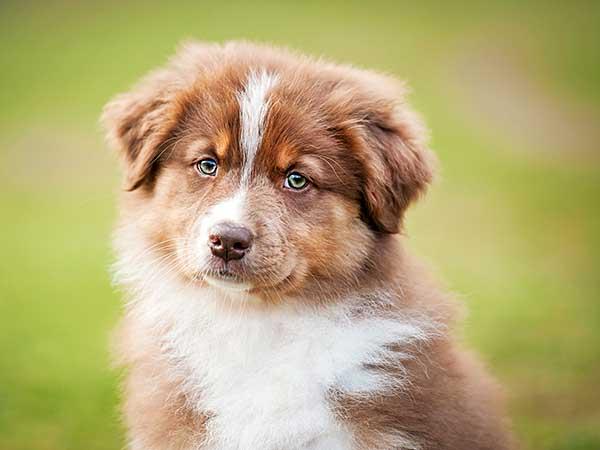 Portrait of red merle Australian Shepherd puppy.
