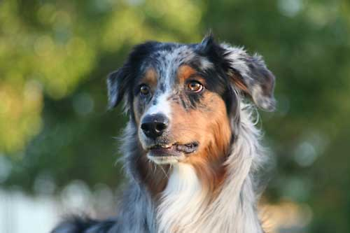 Training an australian shepherd 171 australian shepherd tips