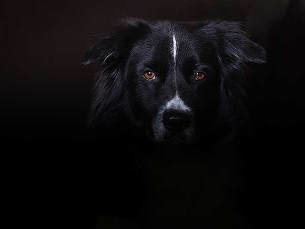 Photo for Reflective Dog Harness Article featuring Australian Shepherd hidden in shadow