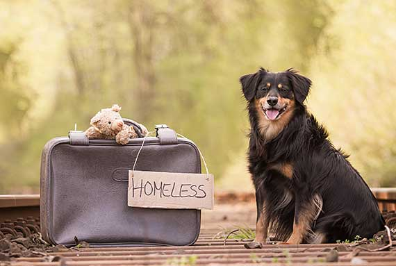 Homeless Australian Shepherd in Need of Rescue