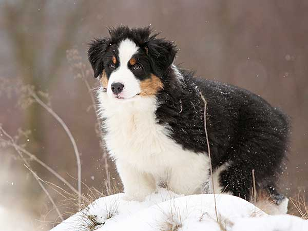 Australian Shepherd in winter with trees in background.