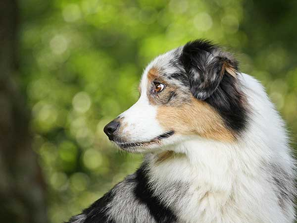 Blue merle Australian Shepherd with trees in background.