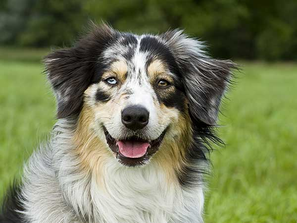 Australian Shepherd with grass and trees in background.