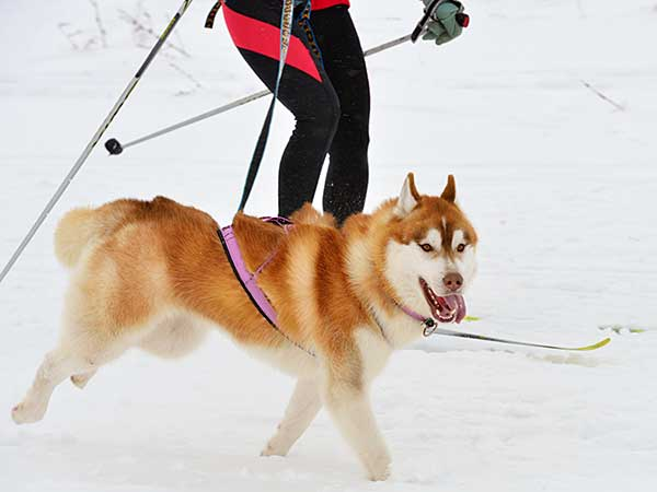 Husky dog during skijoring competition.