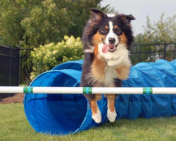 Australian Shepherd jumping over agility bar