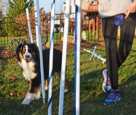 Australian Shepherd running through weave poles