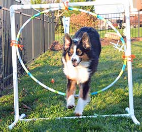 Australian Shepherd jumping through hoop