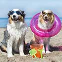 Australian Shepherds enjoying a sandy beach.