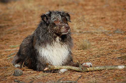 Alpha Dog Training Tips - Australian Shepherds are always alert and incredibly intelligent.