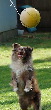 Australian Shepherd - Tetherball