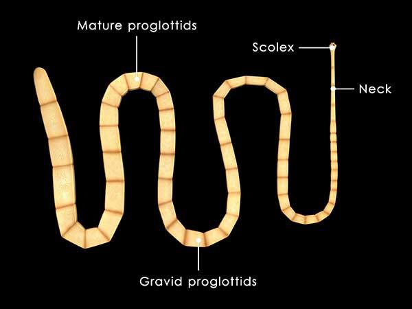 Does Your Australian Shepherd Have Tapeworms? - Photo: Anatomy of the tapeworm, dipylidium caninum.