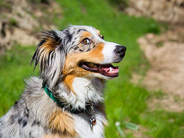 Thinking Of Trying Therapy Dog Training With Your Australian Shepherd? - Photo: Smiling blue merle Australian Shepherd with grassy hill in background.