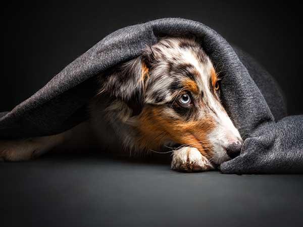 Australian Shepherd under blanket.