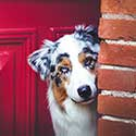 Australian Shepherd in doorway by red door.