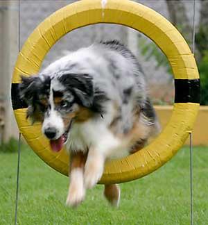 Tire Jump - Australian Shepherd Goomba