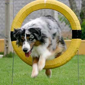 Australian Shepherd leaping through tire jump.