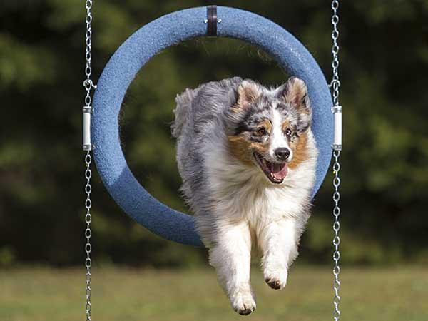 Blue merle Australian Shepherd jumping through agility tire jump.