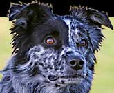 Australian Shepherd Lovers.com