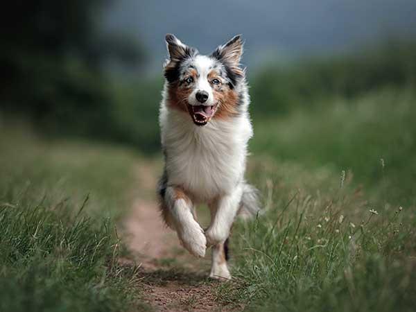 A Positive Dog Training Approach Works Best - Photo: Blue merle Australian Shepherd running down path toward camera.