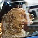 Red Australian Shepherd sitting in a car.