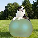 Australian Shepherd on a treibball ball.