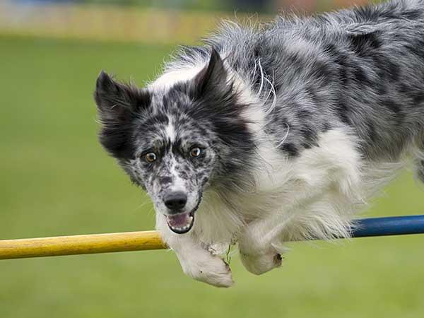 Blue merle Australian Shepherd jumping over agility bar jump.