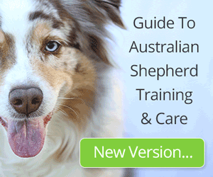 Guide To Australian Shepherd Training & Care