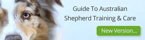 Guide To Australian Shepherd Training and Care