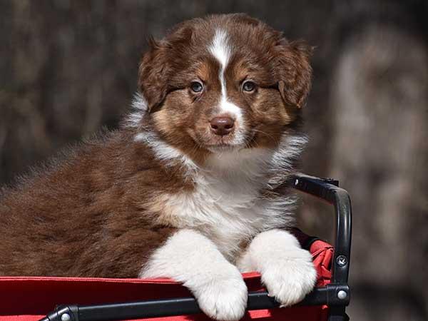 Australian Shepherd Dog Photo of the Month