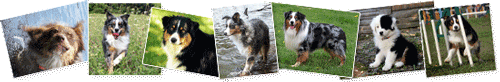 Australian Shepherd  Photos