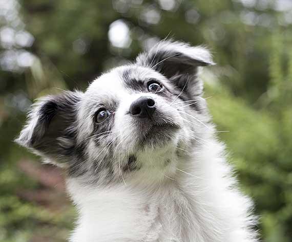 Confused Australian Shepherd puppy