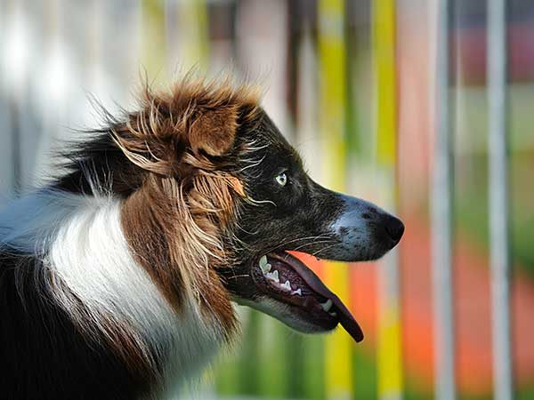 Dog in front of weave poles at agility trial.