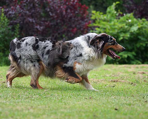 What To Do About Dog Biting And Nipping Due To Herding - Photo: Australian Shepherd in a crouched position.