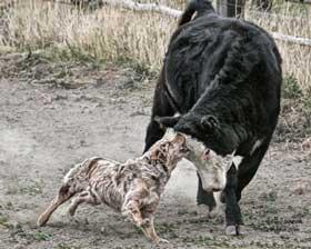 Australian Shepherd herding a cow.