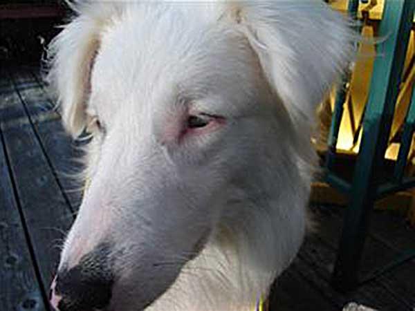 Double merle Australian Shepherd/Collie mix, Dakota.