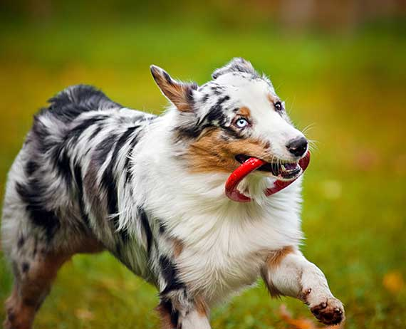 Australian Shepherd running with dog toy.