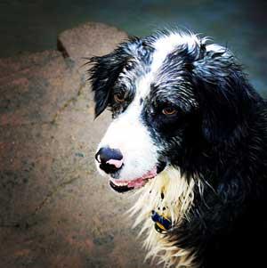 Blue Merle Australian Shepherd - Clay
