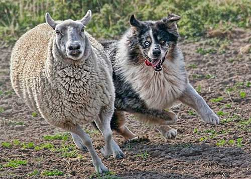 Australian Shepherd Dog Training Tips - Sheep Herding