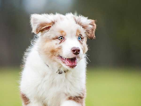 Favorite Puppy Names for Your Australian Shepherd - Photo: Red merle Australian Shepherd puppy running across grass.