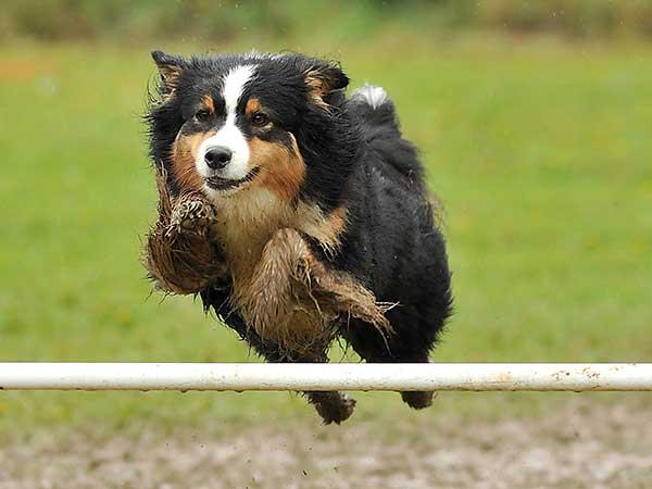 Australian Shepherd jumping over white agility bar.
